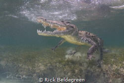 Snorkeling with American crocs in Chinchorro, Mexico by Rick Beldegreen