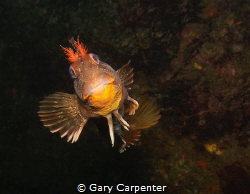 Happy to see you -  Tompot Blenny (Parablennius gattorug... by Gary Carpenter