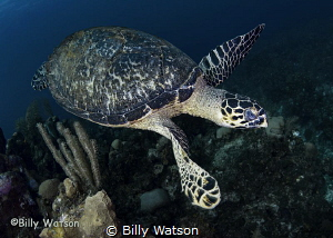 What better way to finish off a dive than a Hawksbill pas... by Billy Watson