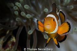 Clownfish Portrait by Thomas Bannenberg