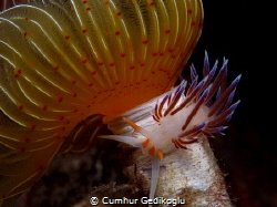 Protula tubularia with Cratena peregrina by Cumhur Gedikoglu