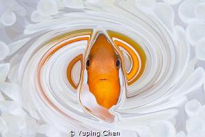 Living in the Spiral World/Tomato Anemonefish/Ishigaki, O... by Yuping Chen