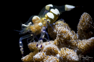 Anemone shrimp (Periclemenes brevicarpalis) by Filip Staes
