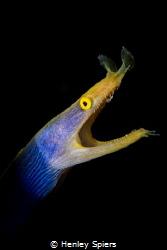 Ladyboy Eel by Henley Spiers