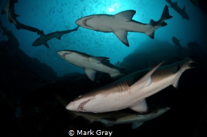 Grey Nurse sharks at Fish Rock by Mark Gray