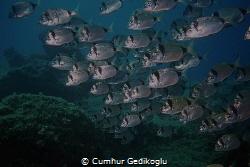Diplodus vulgaris School of fish was watching me. by Cumhur Gedikoglu