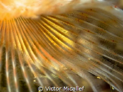 Detail of a fanworm by Victor Micallef