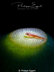 Goby Spot by Philippe Eggert