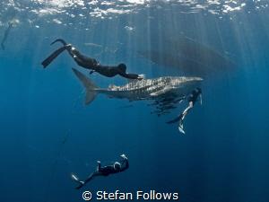 Baby on board ... !  Whale Shark - Rhincodon typus  S... by Stefan Follows