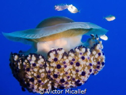 Fried egg jellyfish by Victor Micallef