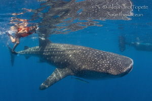 My soon with Whaleshark, Isla Contoy México by Alejandro Topete