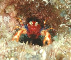 Any body what is this tiny creature call? Kapalai, Sabah by Frankie Tsen