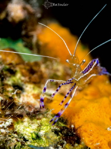 Pedersen Shrimp on an orange encrusting sponge on the hou... by Patricia Sinclair