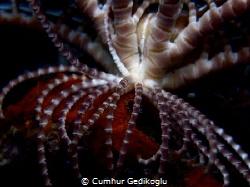 Antedon mediterranea Feather Star by Cumhur Gedikoglu