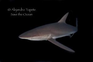 Silky Shark at nigth, Isla Socorro México by Alejandro Topete