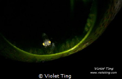 tiny shrimp in a tunicate by Violet Ting