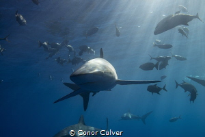 Curious Silky Shark by Conor Culver