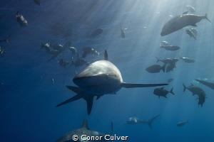 Curious Silky Shark by Conor Culver