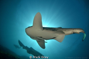 Leopard Sharks in the Sun by Mark Gray