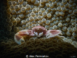 Porcelain crab posing on anemone by Alex Permiakov
