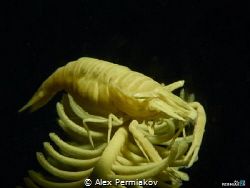 Yellow crinoid shrimp. by Alex Permiakov