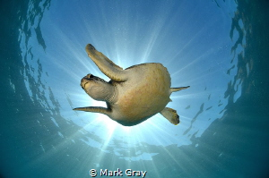 Green Turtle Sunburst by Mark Gray