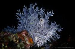 P U R P L E Purple Rhinopias (Rhinopias frondosa) Anila... by Irwin Ang