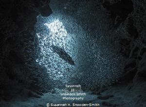 """""""Charging Through"""" - A tarpon races into a ball of silver... by Susannah H. Snowden-Smith"""