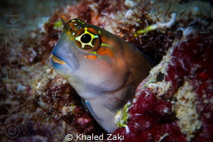 Happy Blenny by Khaled Zaki