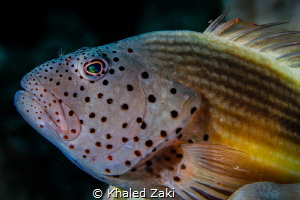 Freckled Hawkfish by Khaled Zaki