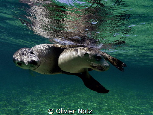 Playing sealions, Western Australia by Olivier Notz