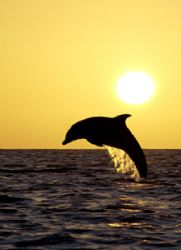 dolphin in the sunset by Eduardo Lugo