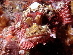 This is a face only a mother - or another scorpionfish - ... by Michael Canzoniero