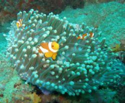 A joyful anemonefish family by Gordana Zdjelar