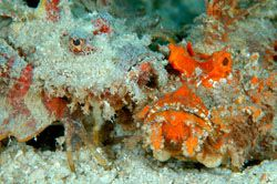 A pair of devil scorpionfish. D70,105mm