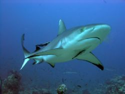 gray reef shark by Guja Tione