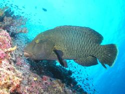 """""""Big Dog"""" Normally the last dive of the day was done at t... by Damien Preston"""