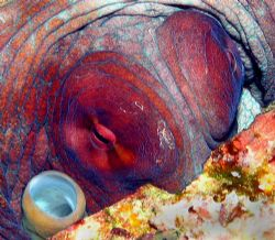 The watchful eyes of the Octopus in Taiwan, Green Island,... by Alex Tattersall