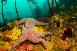 """""""Starfish Sex"""" - photo taken with a Canon Rebel XT w/ 20m... by Dallas Poore"""