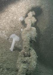 Anchor chain & plumose anemone. HMS Scylla, Whitsand Bay... by Mark Thomas