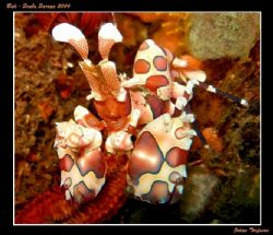 A nice Harlequin Shrimp, near Tulamben, we where looking ... by Johan Torfason