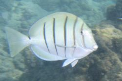 A manini (convict tang) swimming at Hanauma Bay on Oahu, ... by Garrett Brown