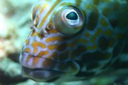 Stocky Hawkfish - Hawaiian name Po'opa'a. North Shore Oah... by Glenn Poulain