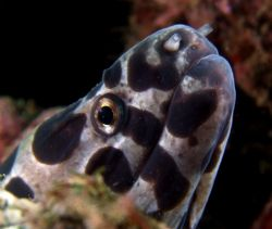 Spotted Moray sniffing about. Again in Taiwan taken with ... by Alex Tattersall