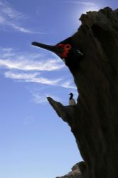 Breeding Red Eyed Kormoran, Patagonia - Estancia Madrugad... by Ralf Levc