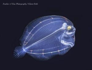 Larval stage of a flounder by Glenn Ostle