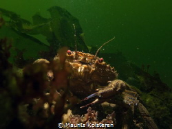 Velvet swimming crab with sinister red eyes. 