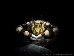 S N O O D  Harlequin Swimming Crab (Lissocarcinus laevis... by Irwin Ang