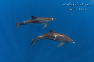 Dolphins in the Blue, Isla Contoy Mexico by Alejandro Topete