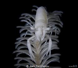 Crinoid shrimp by Alex Permiakov